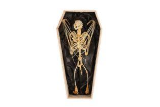 OSTEOLOGY: DAWN BAT (EONYCTERIS SPELAEA) SKELETON IN COFFIN