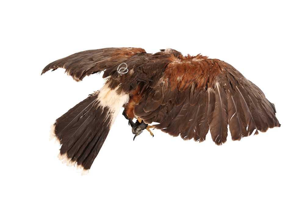 A TAXIDERMY HARRIS HAWK IN FLIGHT, WALL MOUNTED - Image 2 of 4