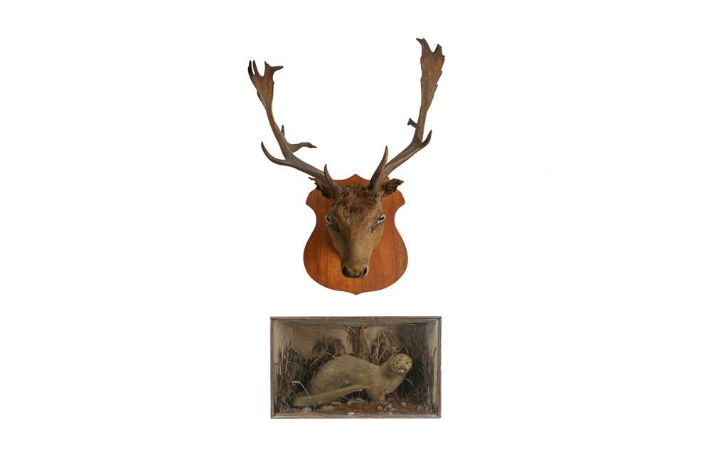 A TAXIDERMY VICTORIAN OTTER TOGETHER WITH A STAG'S HEAD