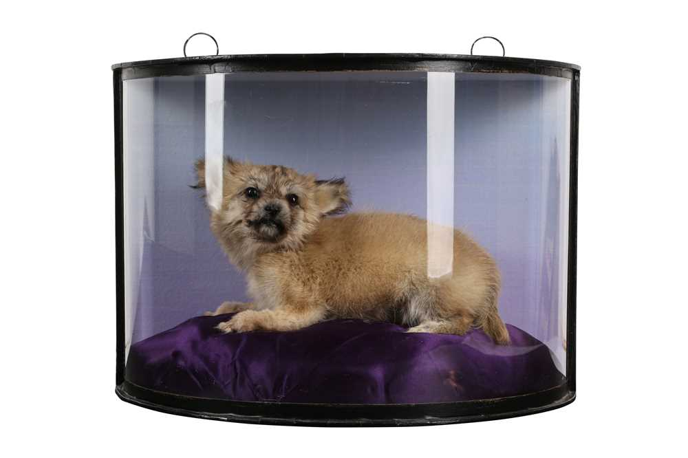A TAXIDERMY PUPPY IN DISPLAY CASE