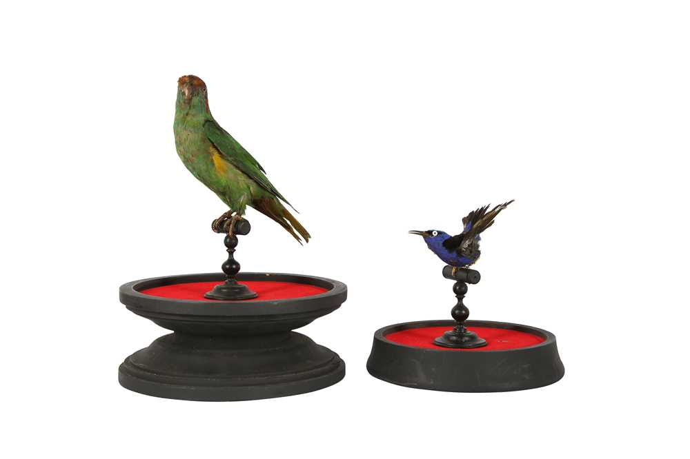 A VICTORIAN TAXIDERMY MUSK LORIKET TOGETHER WITH A RED LEGGED HONEY CREEPER