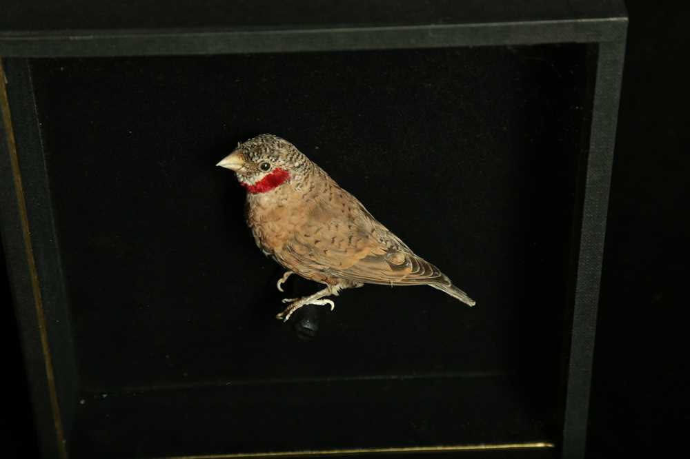 A SET OF FOUR TAXIDERMY CUT-THROAT FINCHES (AMADINA FASCIATA) IN CASES - Image 4 of 4