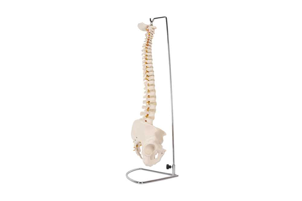 A 20TH CENTURY RESIN TEACHING MODEL OF THE SPINAL AND HIP BONES - Image 4 of 4