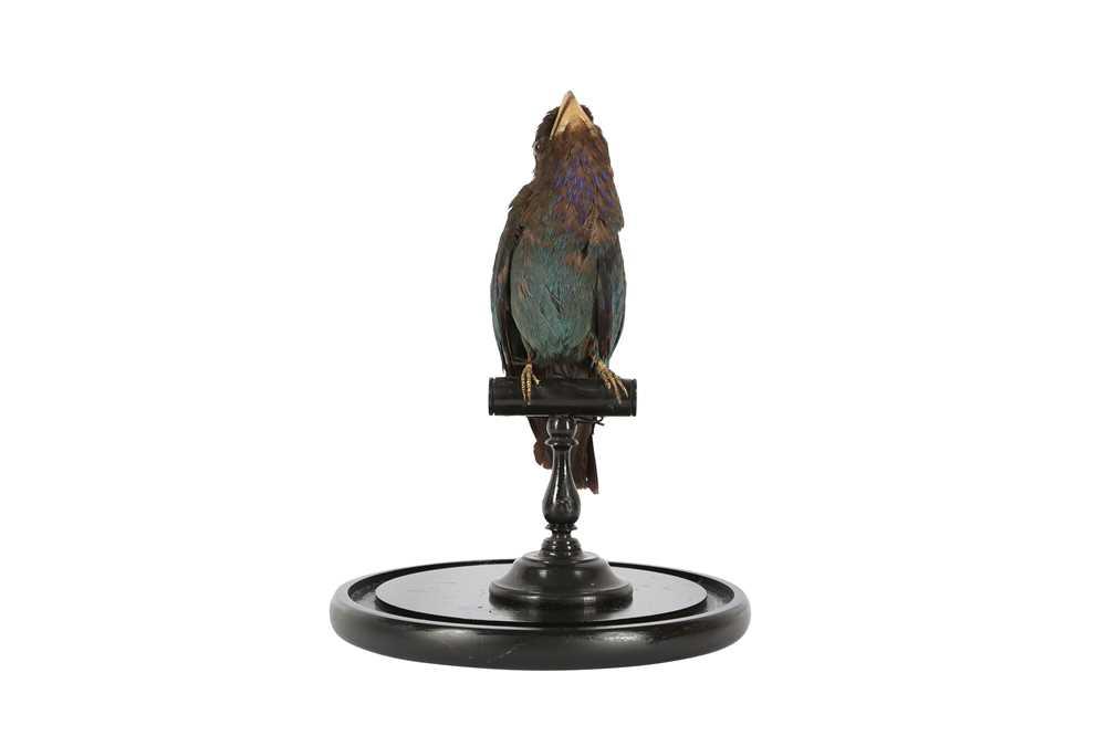 A VICTORIAN TAXIDERMY ORIENTAL DOLLAR BIRD - Image 2 of 5