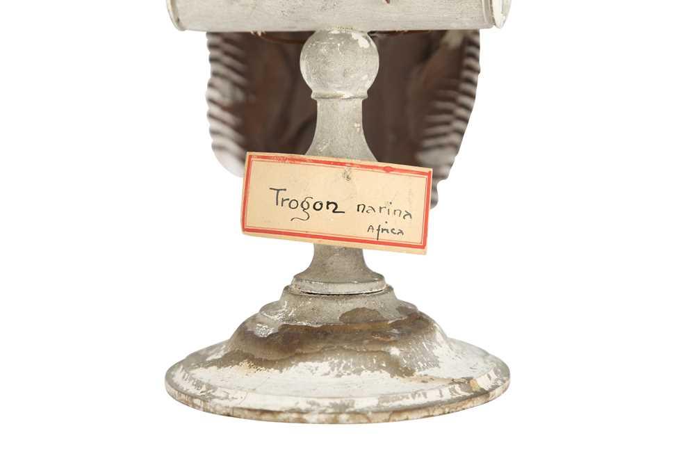 A VICTORIAN TAXIDERMY TROGON - Image 3 of 5