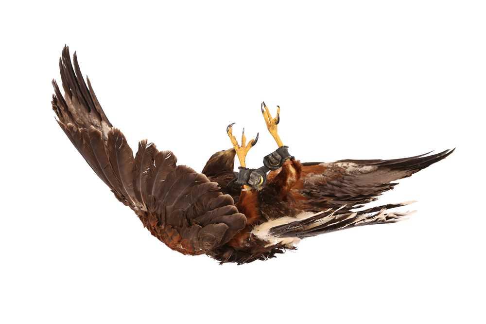 A TAXIDERMY HARRIS HAWK IN FLIGHT, WALL MOUNTED - Image 4 of 4