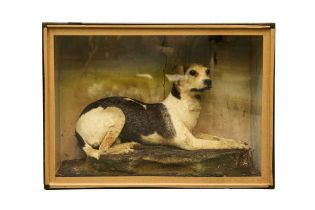 TAXIDERMY: A VICTORIAN TERRIER DOG IN DISPLAY CASE