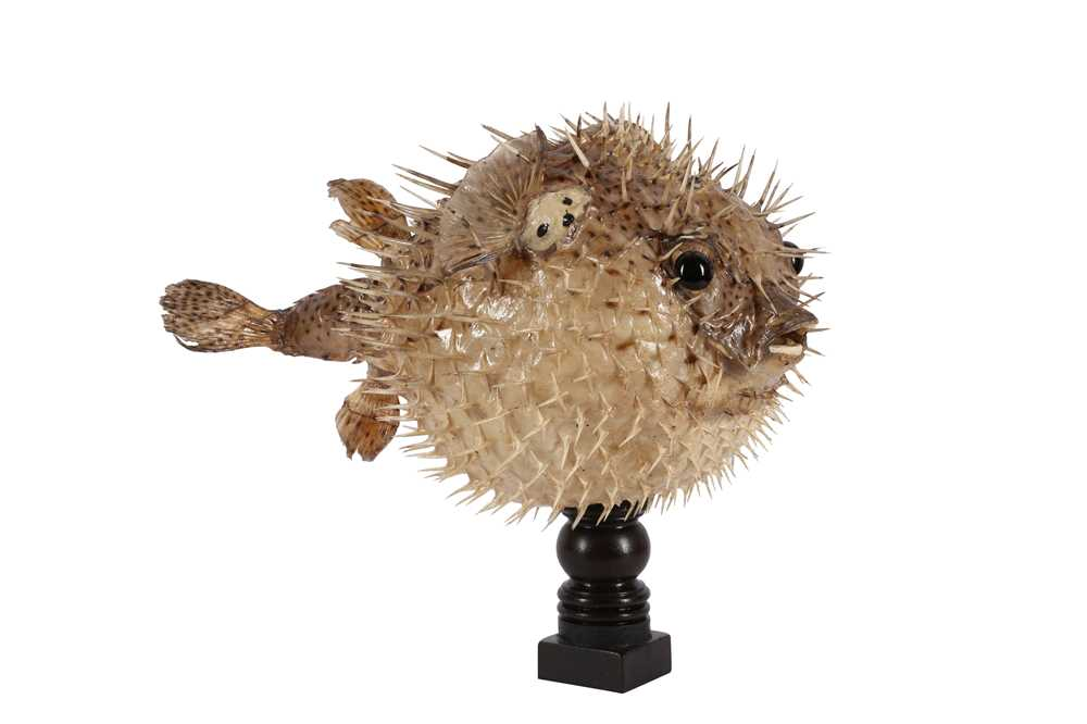 TAXIDERMY: PORCUPINE FISH, AKA PUFFERFISH OR BLOWFISH - Image 3 of 3