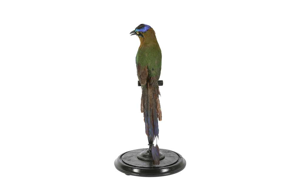 A VICTORIAN TAXIDERMY AMAZONIAN MOT MOT IN DOME - Image 4 of 5