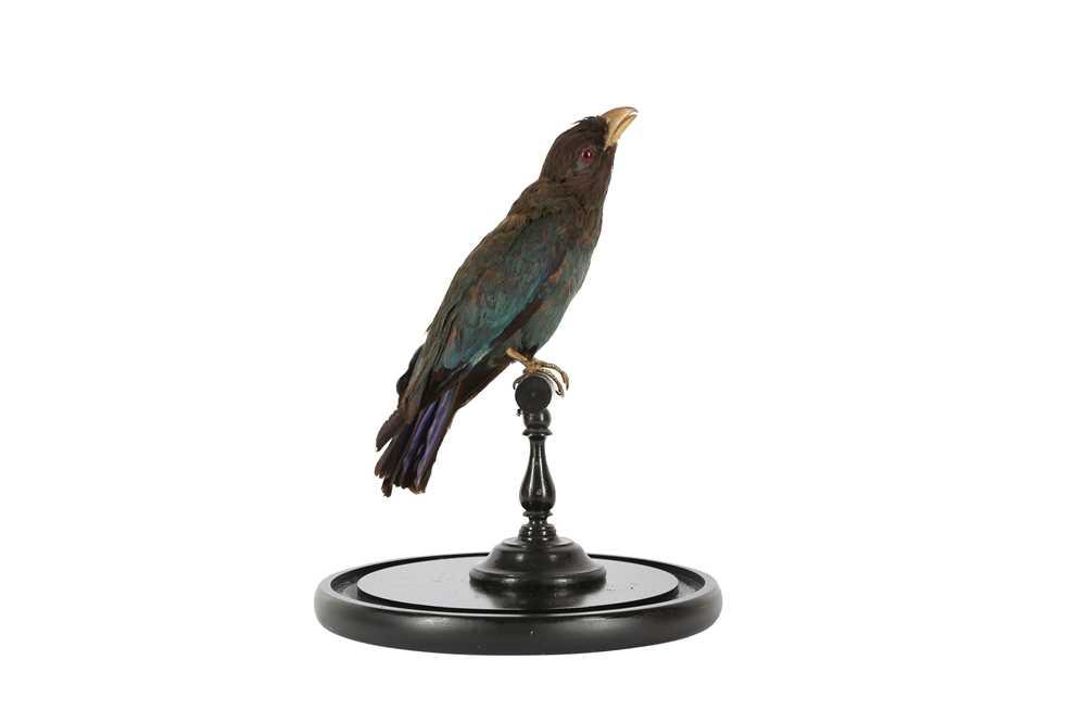 A VICTORIAN TAXIDERMY ORIENTAL DOLLAR BIRD - Image 4 of 5