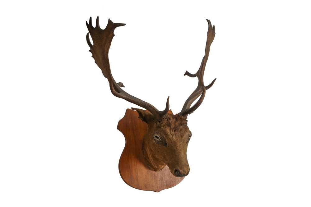 A TAXIDERMY VICTORIAN OTTER TOGETHER WITH A STAG'S HEAD - Image 6 of 6