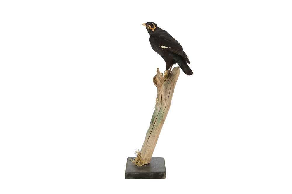 A VICTORIAN TAXIDERMY HILL MYNAH BIRD - Image 3 of 4