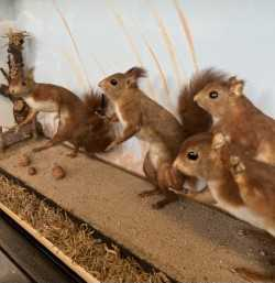 TAXIDERMY: A RARE DISPLAY OF RED SQUIRRELS PLAYING, IN THE MANNER OF WALTER POTTER - Image 2 of 5