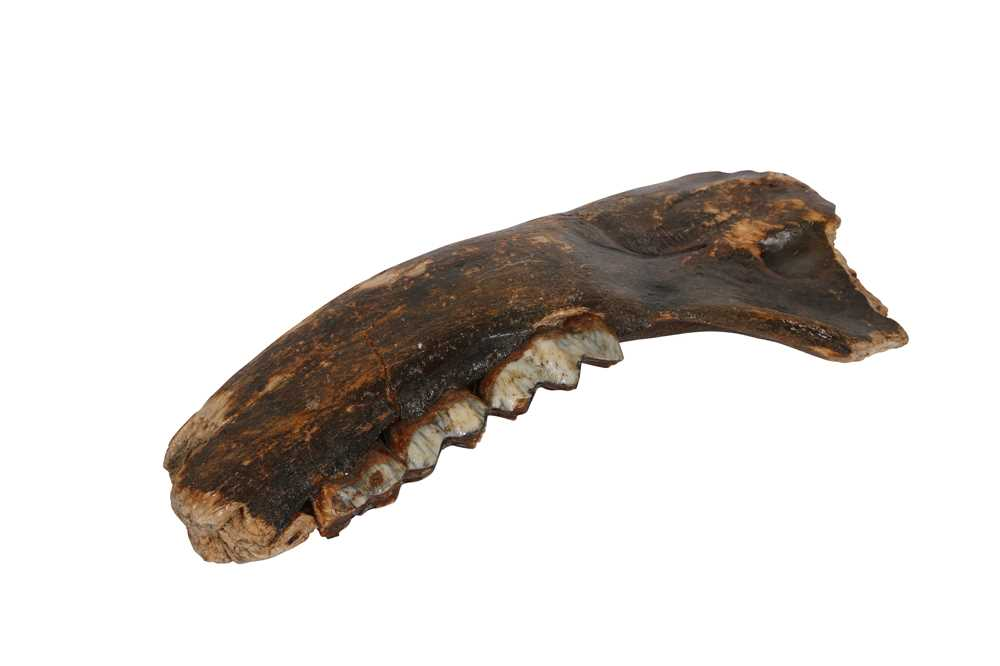 A FOSSILISED SECTION OF LOWER JAW FROM AN EXTINCT IRISH ELK
