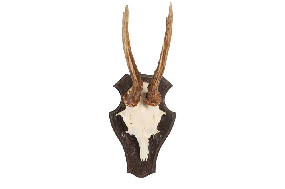 A COLLECTION OF FIVE ROE DEER ANTLERS ON SHIELDS - Image 5 of 6