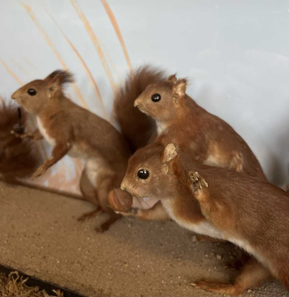TAXIDERMY: A RARE DISPLAY OF RED SQUIRRELS PLAYING, IN THE MANNER OF WALTER POTTER - Image 4 of 5