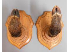 Two oak mounted taxidermy boar feet coat/hat hange