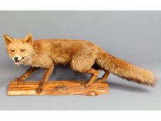 A 20thC. taxidermied fox, 37.5in long