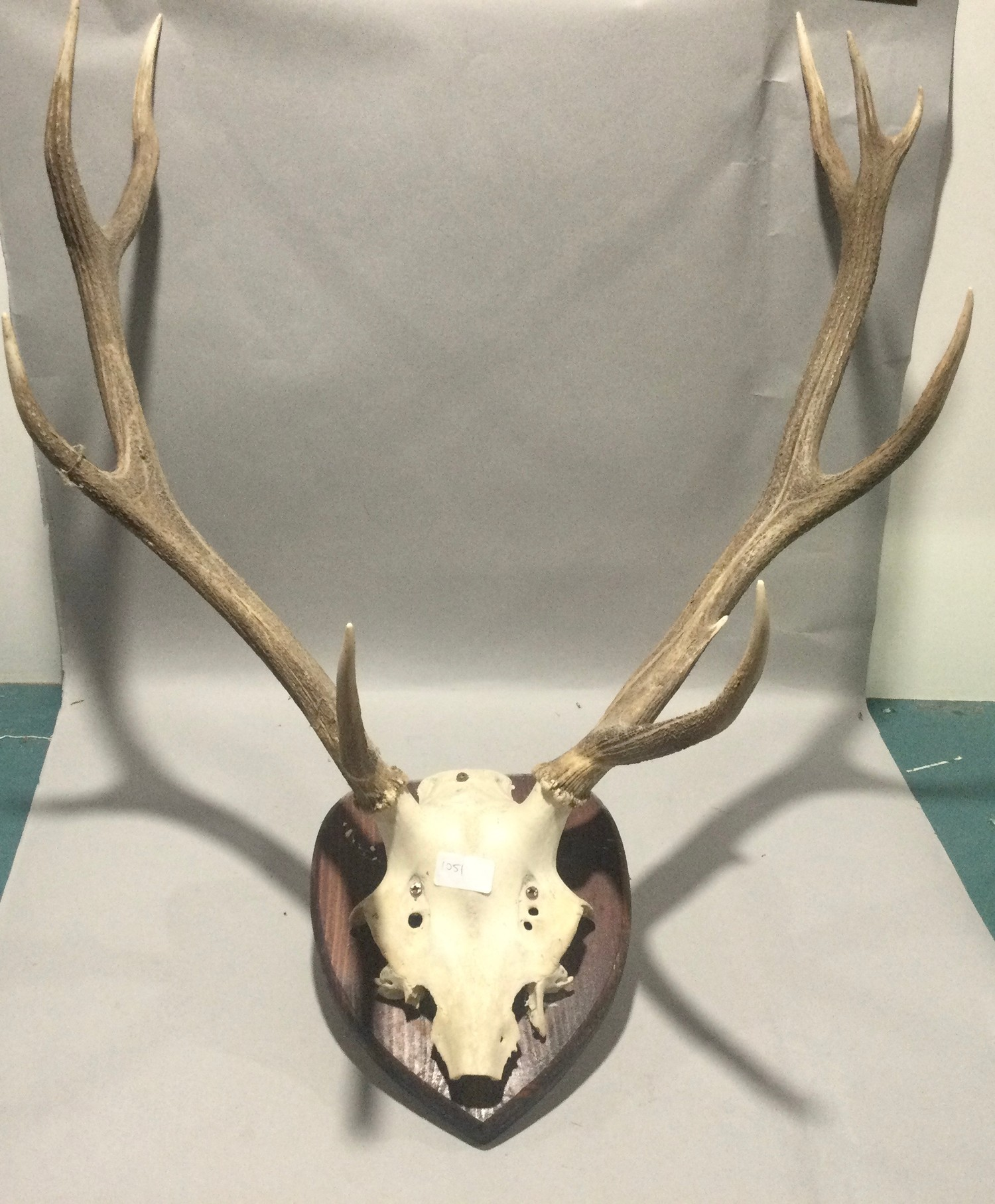 Pair of stag horns mounted on a wall shield 5 piont 80x60cm