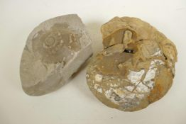 """An ammonite fossil and another fossilised rock, 9"""" diameter"""