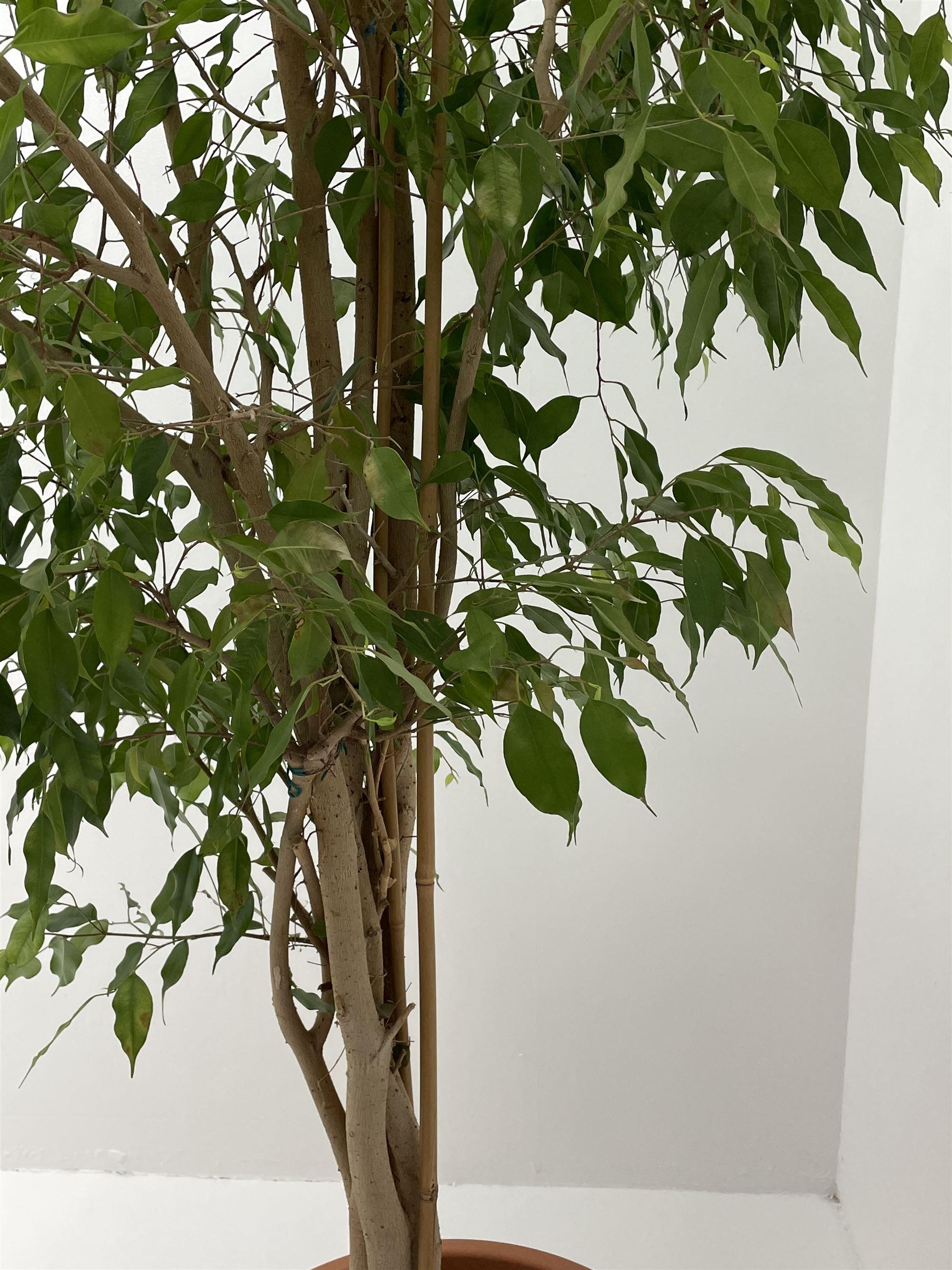 Weeping fig - Image 4 of 4