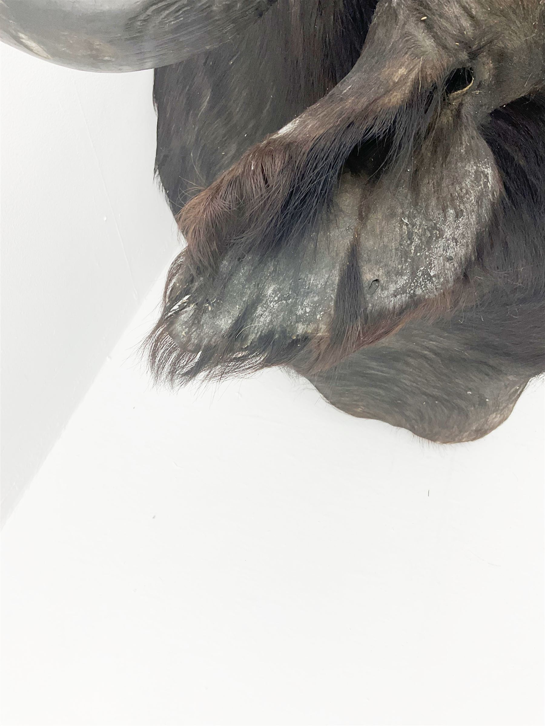 Taxidermy: African Cape Buffalo (Syncerus Caffer) - Image 3 of 11