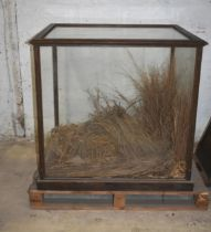 A glass display case, orig. displaying a lion