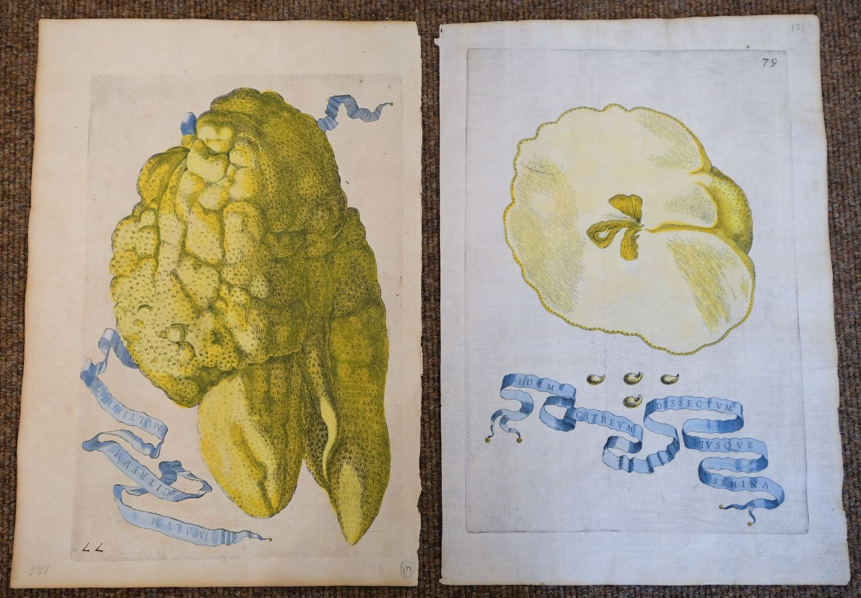 * Fruit. Volckamer (J. C.), Five plates from ' Nurnbergische Hesperides...', 1708 - Image 2 of 6