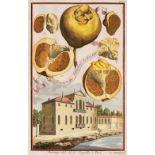 * Fruit. Volckamer (J. C.), Five plates from ' Nurnbergische Hesperides...', 1708