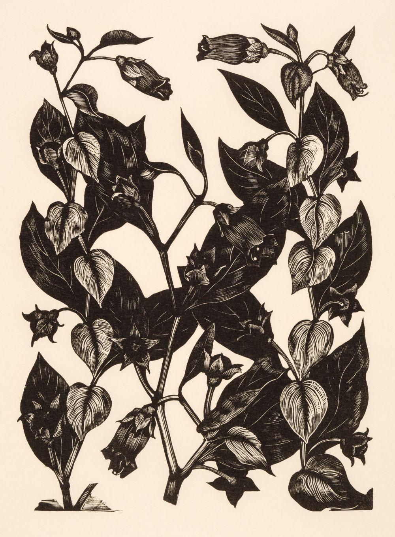* Nash (John, 1893-1977). Yew Taxus Baccata Taxaceae, Illustration for 'Poisonous Plants.