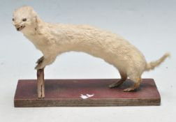 TAXIDERMY - EARLY 20TH CENTURY STOAT PERCHED ON A BRANCH