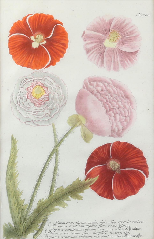 Johann Wilhelm Weinmann (German, 1683-1741). 'Phytanthoza Iconographia'. Four botanical engravings - Image 2 of 8