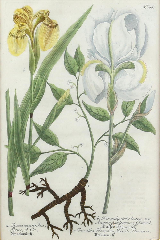 Johann Wilhelm Weinmann (German, 1683-1741). 'Phytanthoza Iconographia'. Four botanical engravings - Image 4 of 8