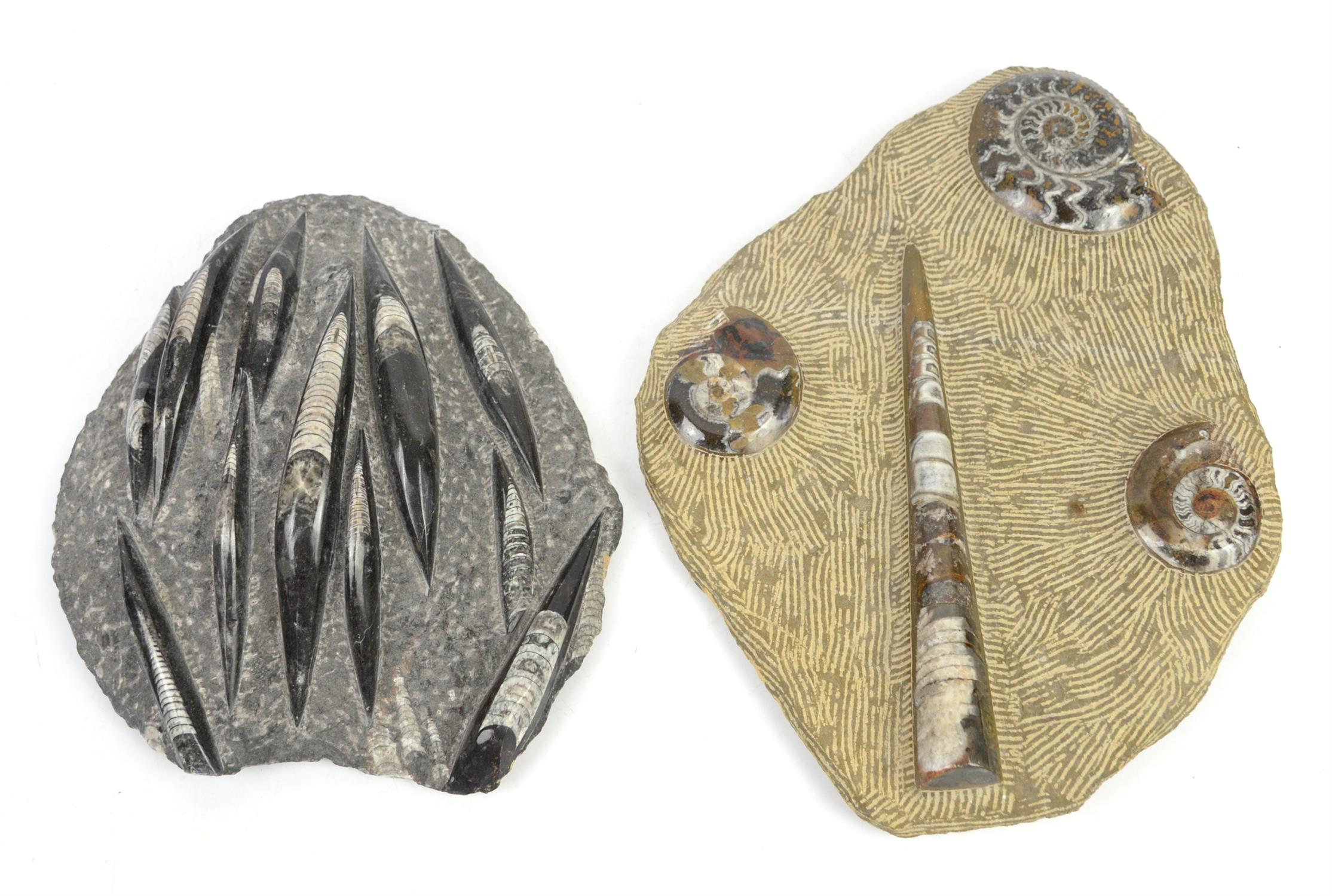 Moroccan seabed plaque displaying amonites and orthoceras fossils, W42 x D32cm, together with