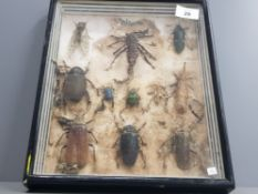 NICELY CASED SELECTION MALAYSIAN BEETLES CICADA SCORPION ETC SOME DAMAGED
