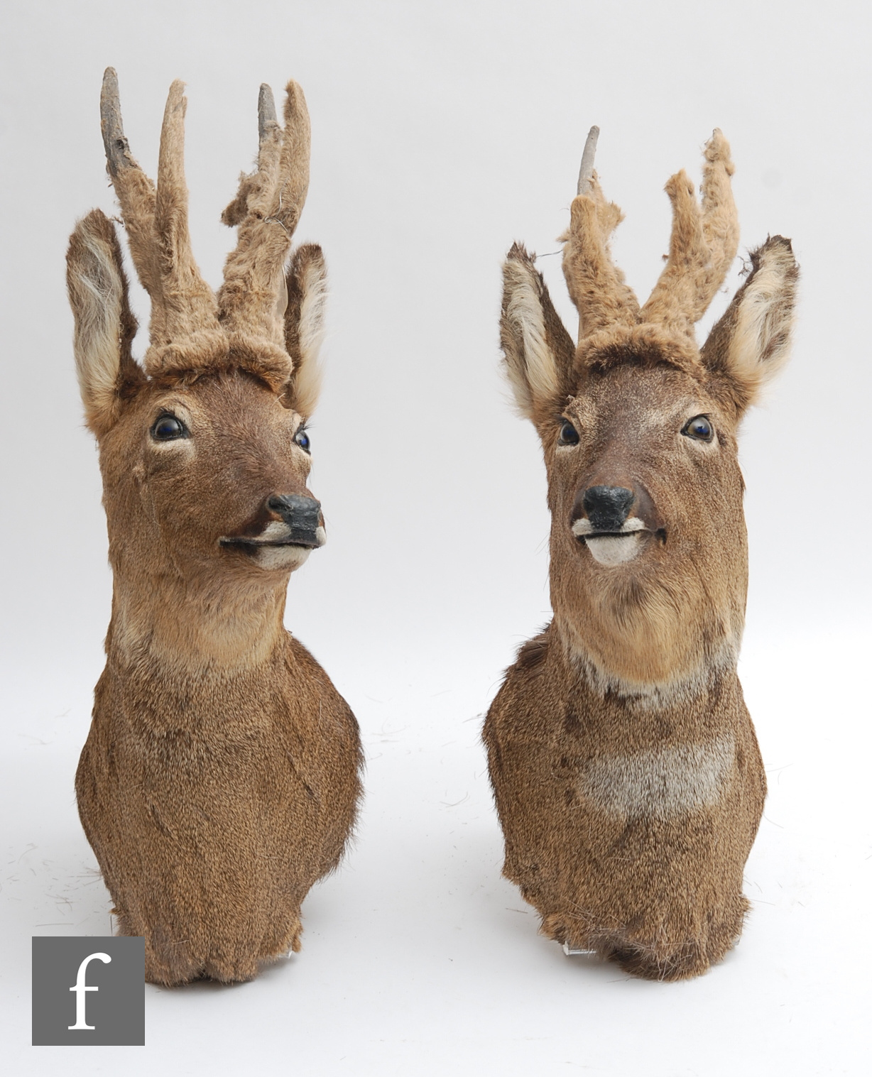 A pair of late 20th Century taxidermy studies of roebuck shoulder mounts, with glass inset eyes,