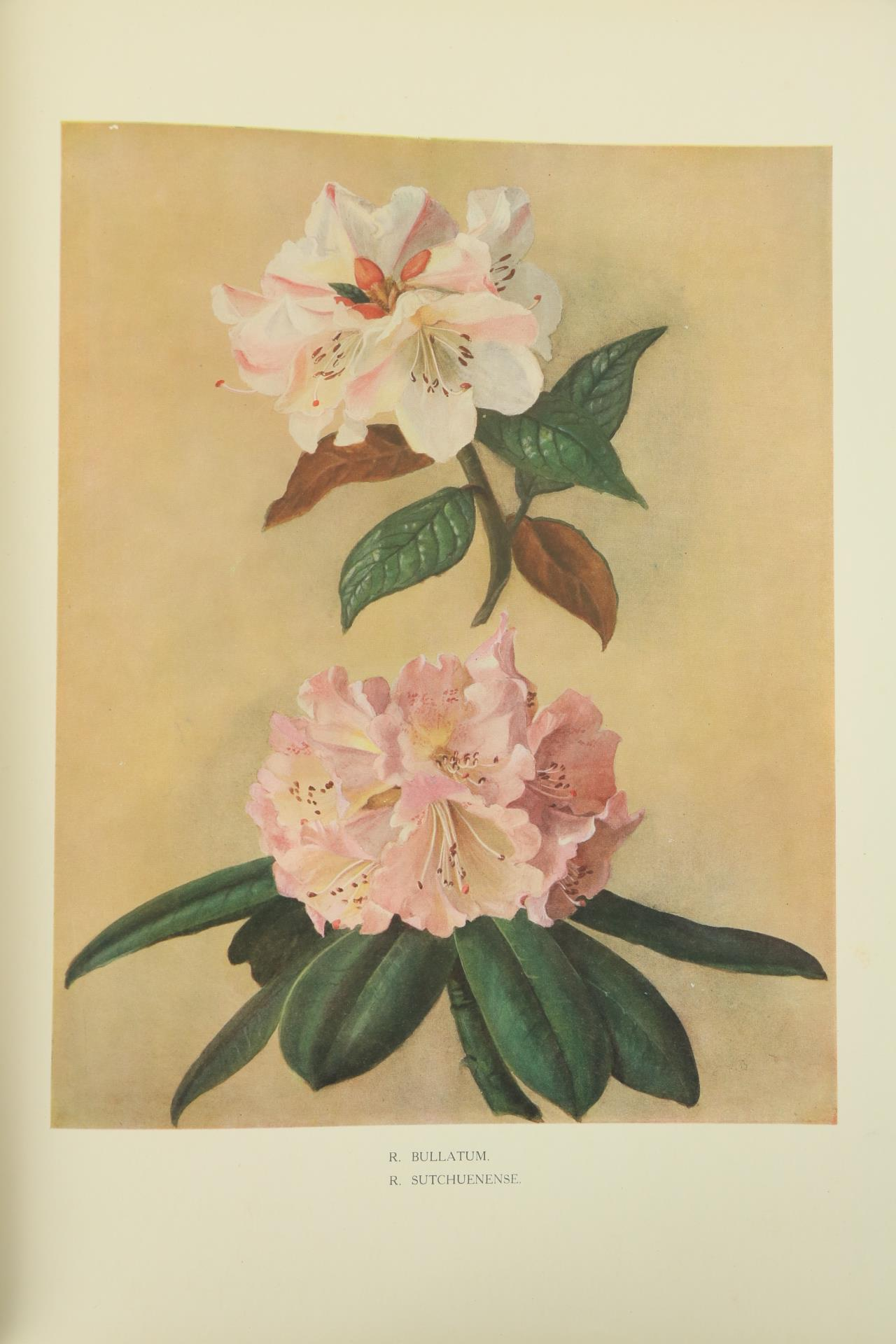 Millais (J.G.)ÿRhododendrons, ... An Account of All Species of the Genus Rhododendron (including - Image 4 of 6