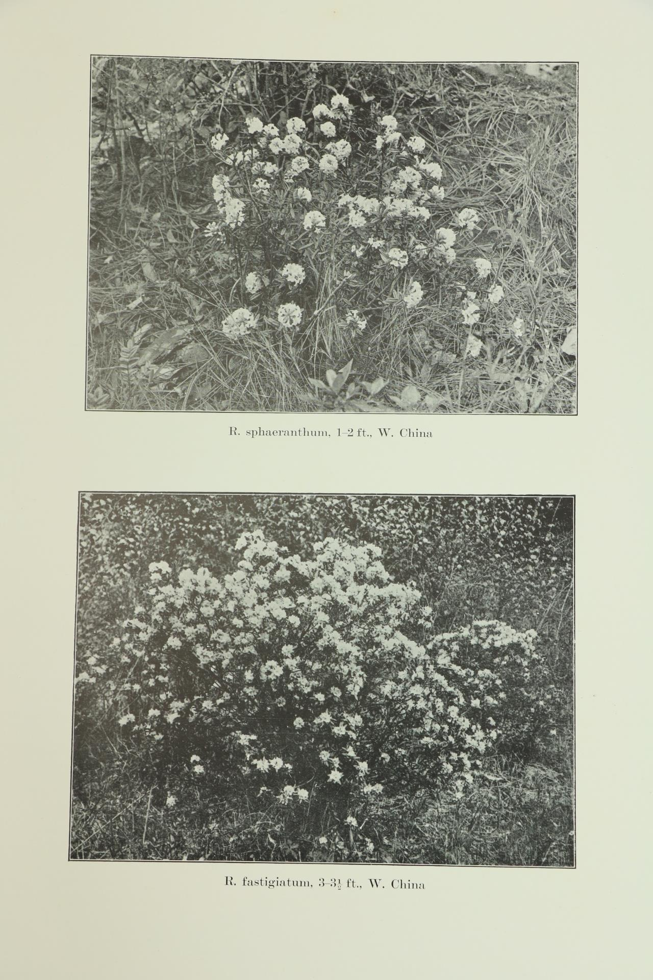 Millais (J.G.)ÿRhododendrons, ... An Account of All Species of the Genus Rhododendron (including - Image 6 of 6