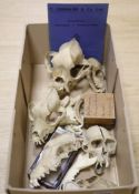 A group of mammal skulls, collected before 1950, to include a bulldog skull, lemur skull with single