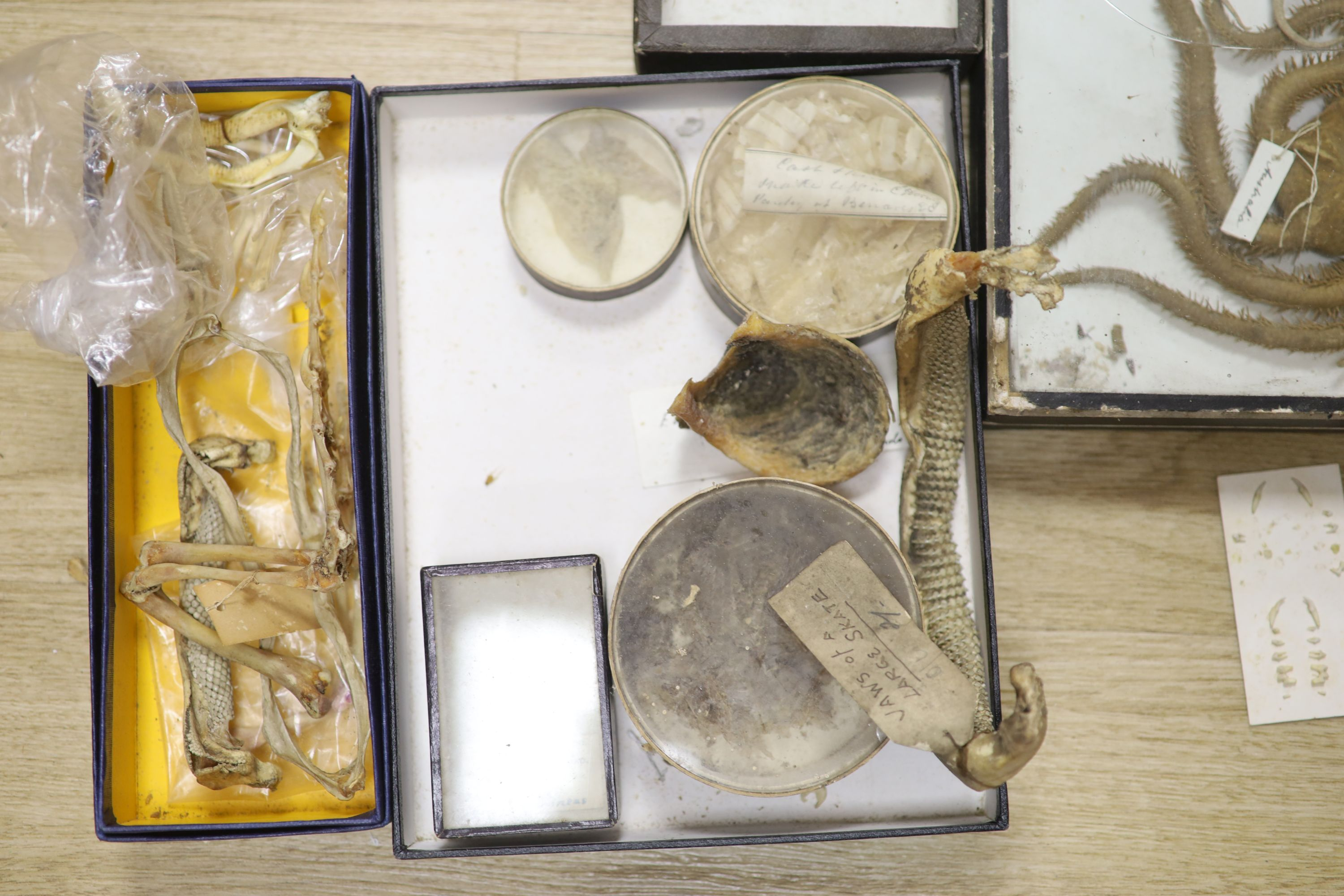 A collection of sea creature and reptile specimens, most collected before 1945, to include shark's - Image 3 of 7