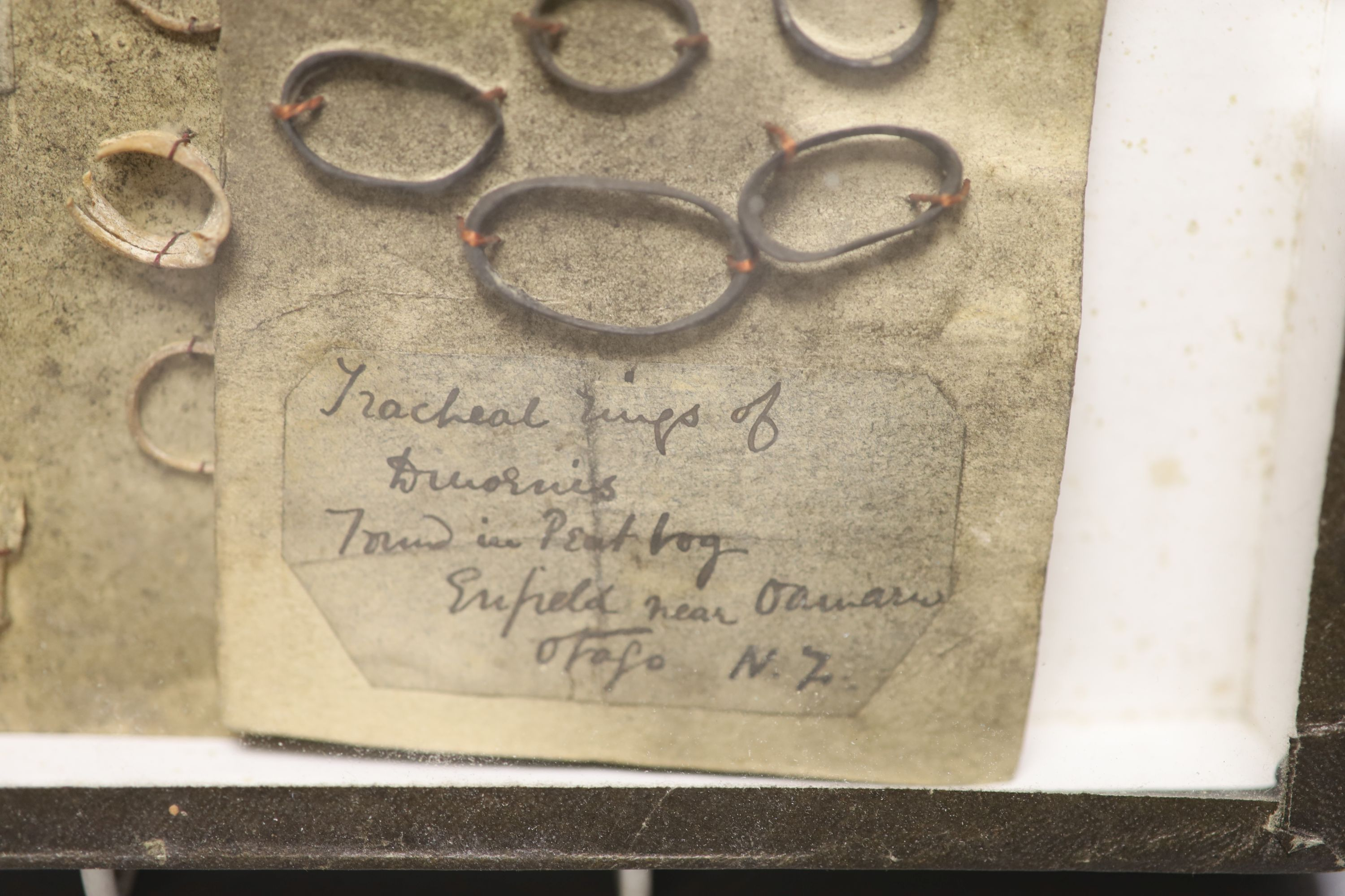 New Zealand Natural History - Moa tracheal rings and bones, collected before 1917, each mounted with - Image 2 of 2