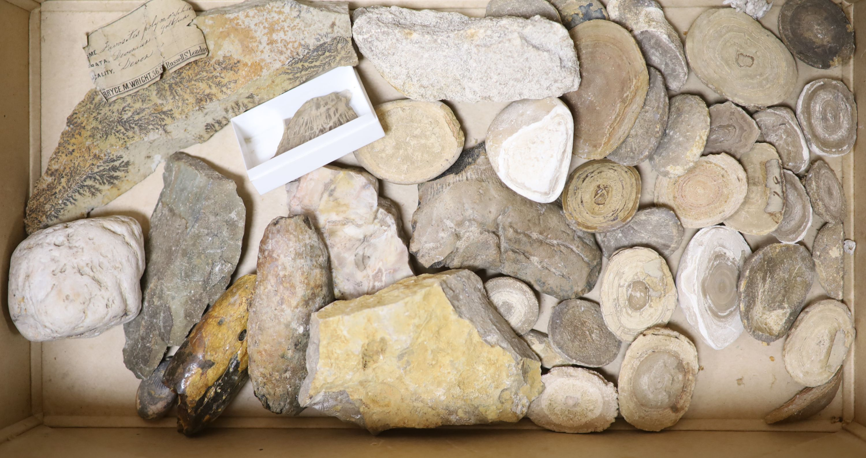 A large collection of fossil marble and fossil specimens, collected before 1970, largest 19.5cm, - Image 3 of 3