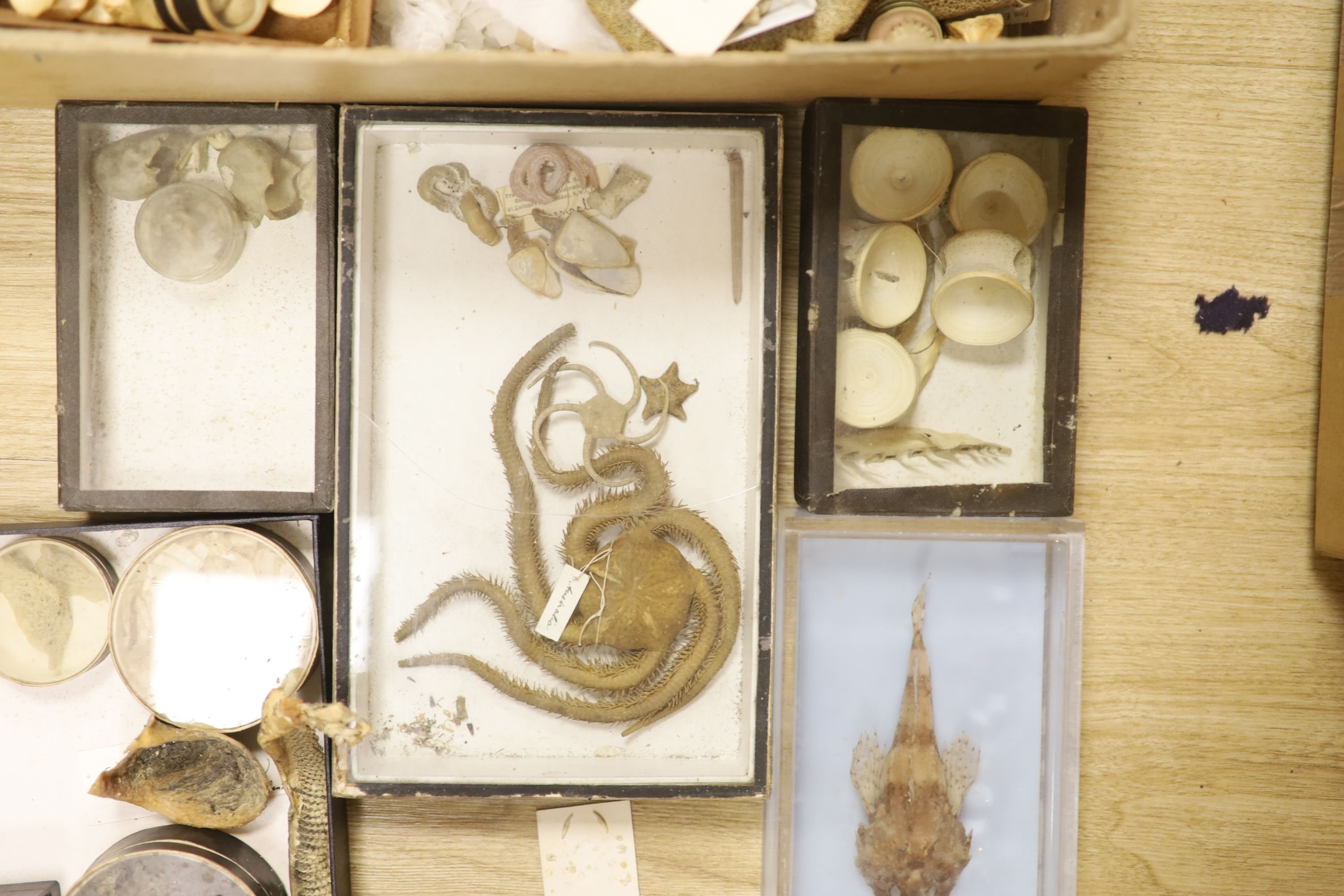 A collection of sea creature and reptile specimens, most collected before 1945, to include shark's - Image 4 of 7