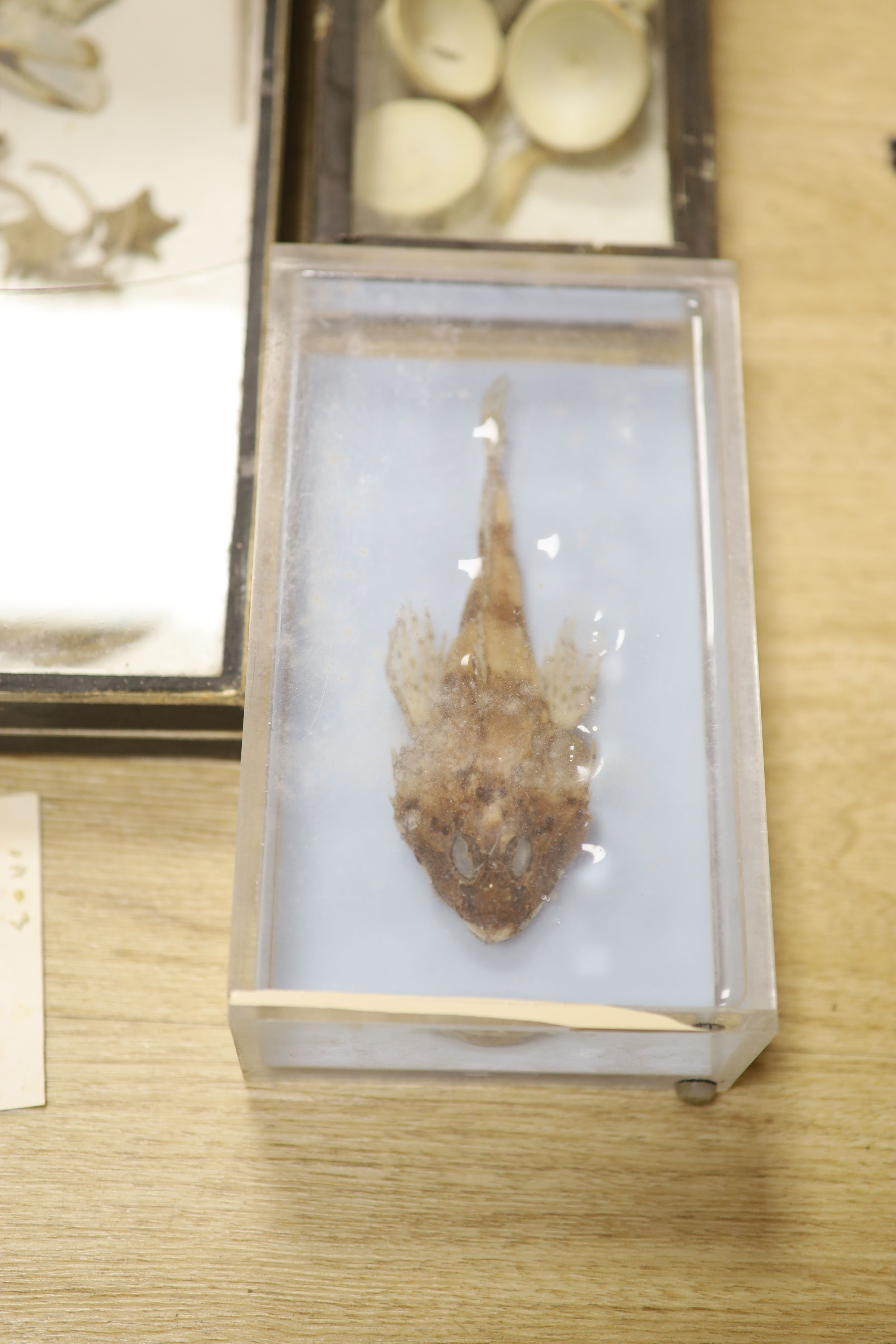 A collection of sea creature and reptile specimens, most collected before 1945, to include shark's - Image 2 of 7
