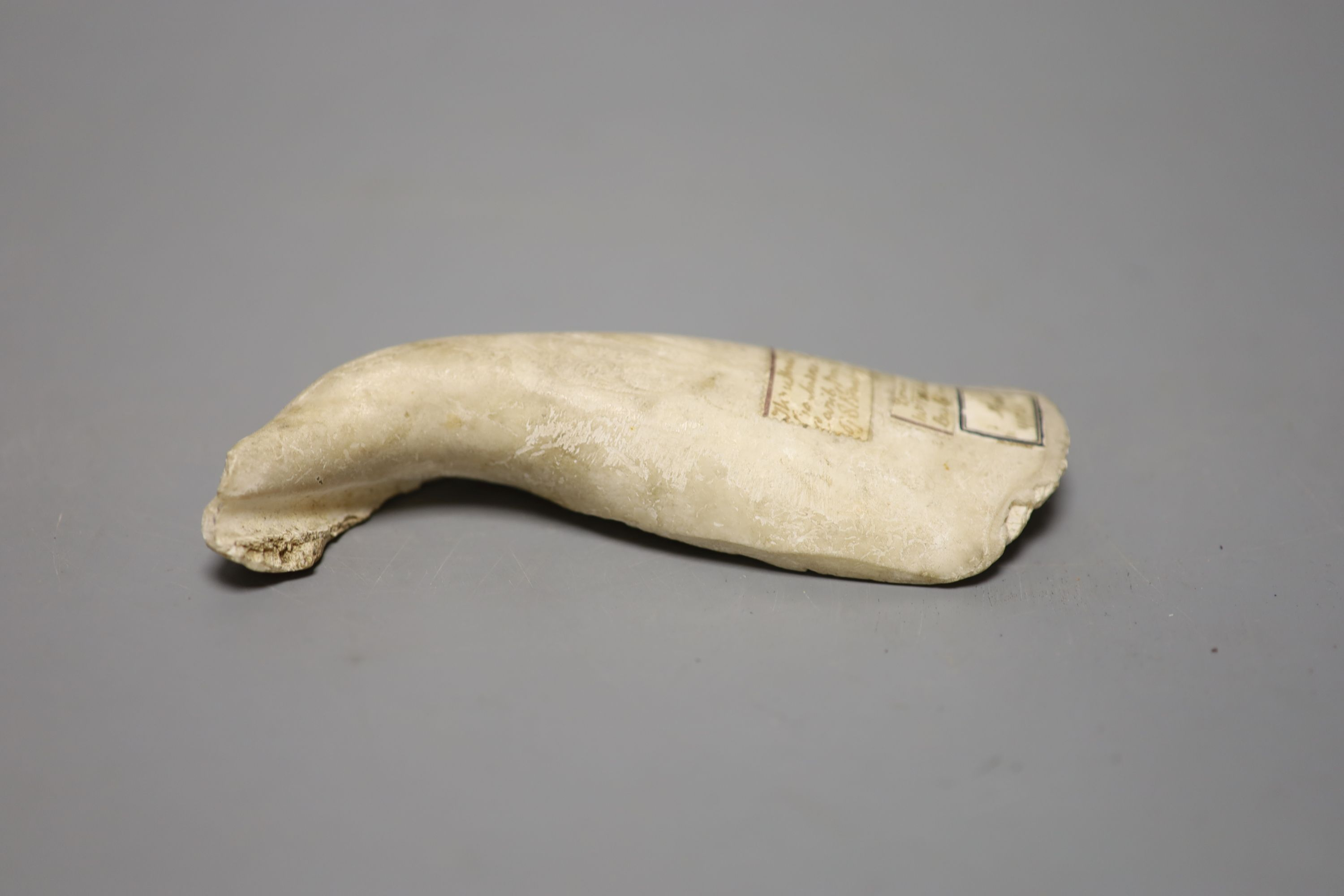 Caribbean anthropology - a Queen Conch shell hand tool, from the columella (inner spiral section) of - Image 3 of 3