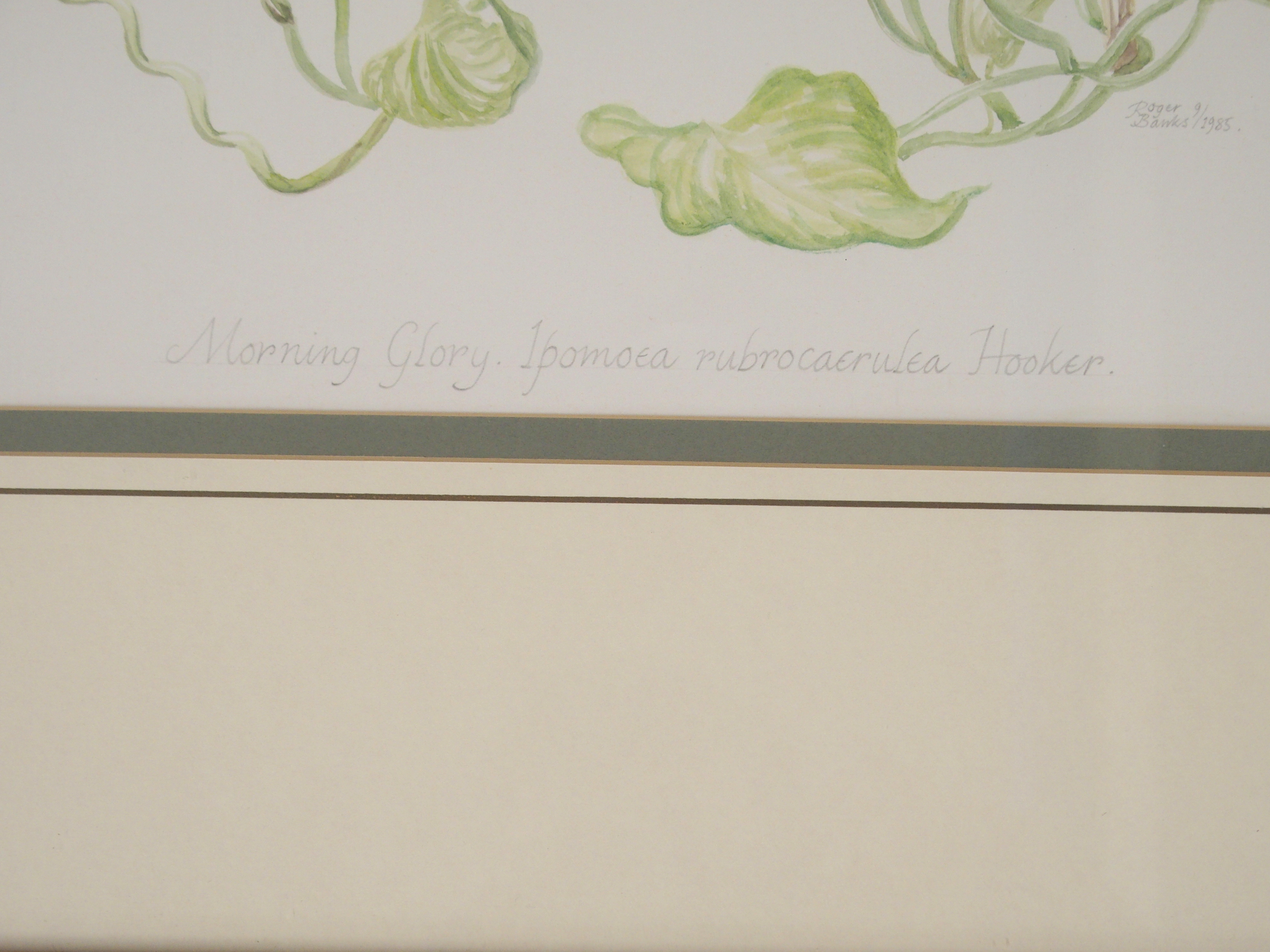 •ROGER BANKS (SCOTTISH 1929-2008) MORNING GLORY watercolour, signed, inscribed and dated, 1985, 52 x - Image 3 of 5