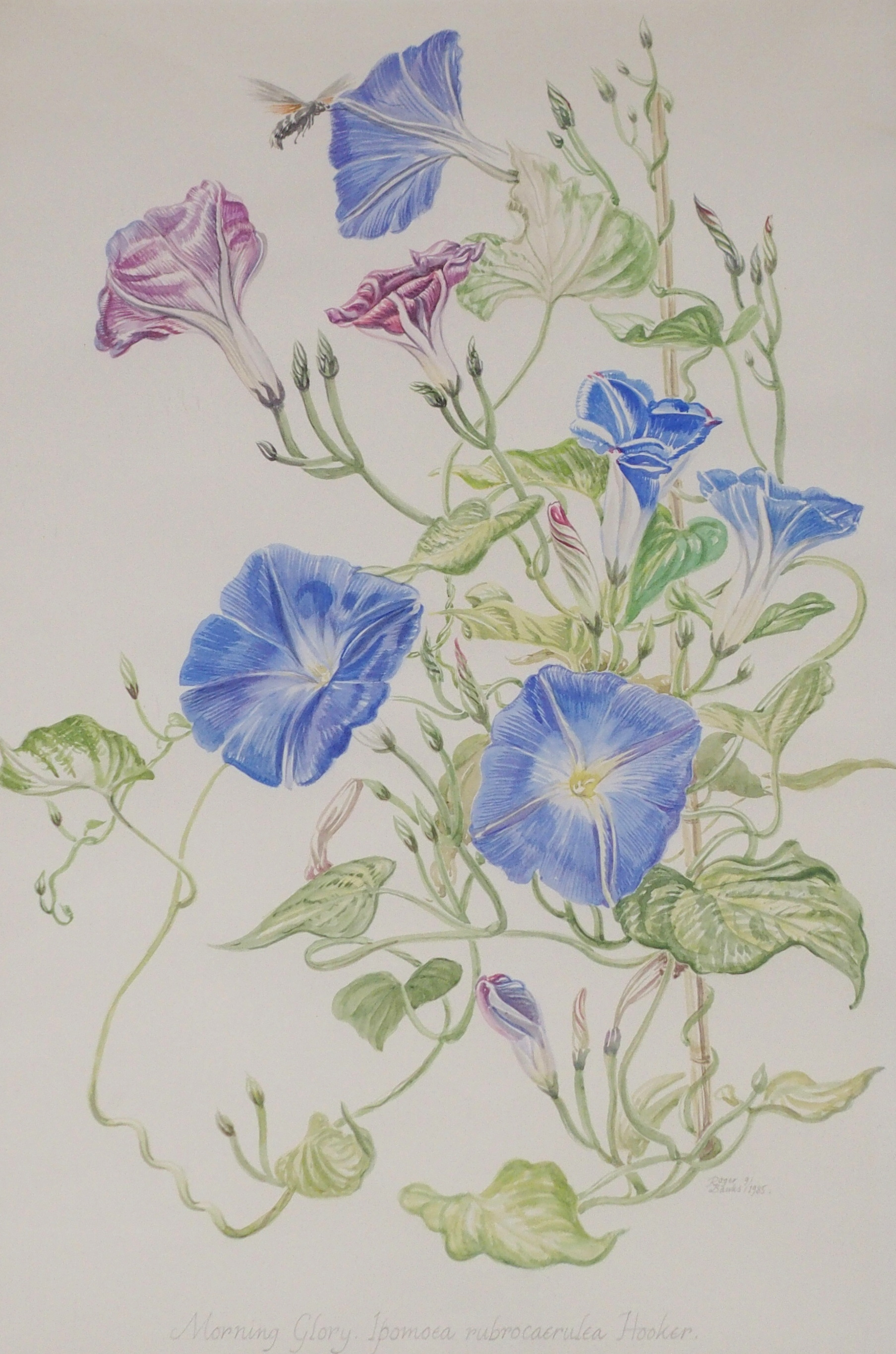 •ROGER BANKS (SCOTTISH 1929-2008) MORNING GLORY watercolour, signed, inscribed and dated, 1985, 52 x