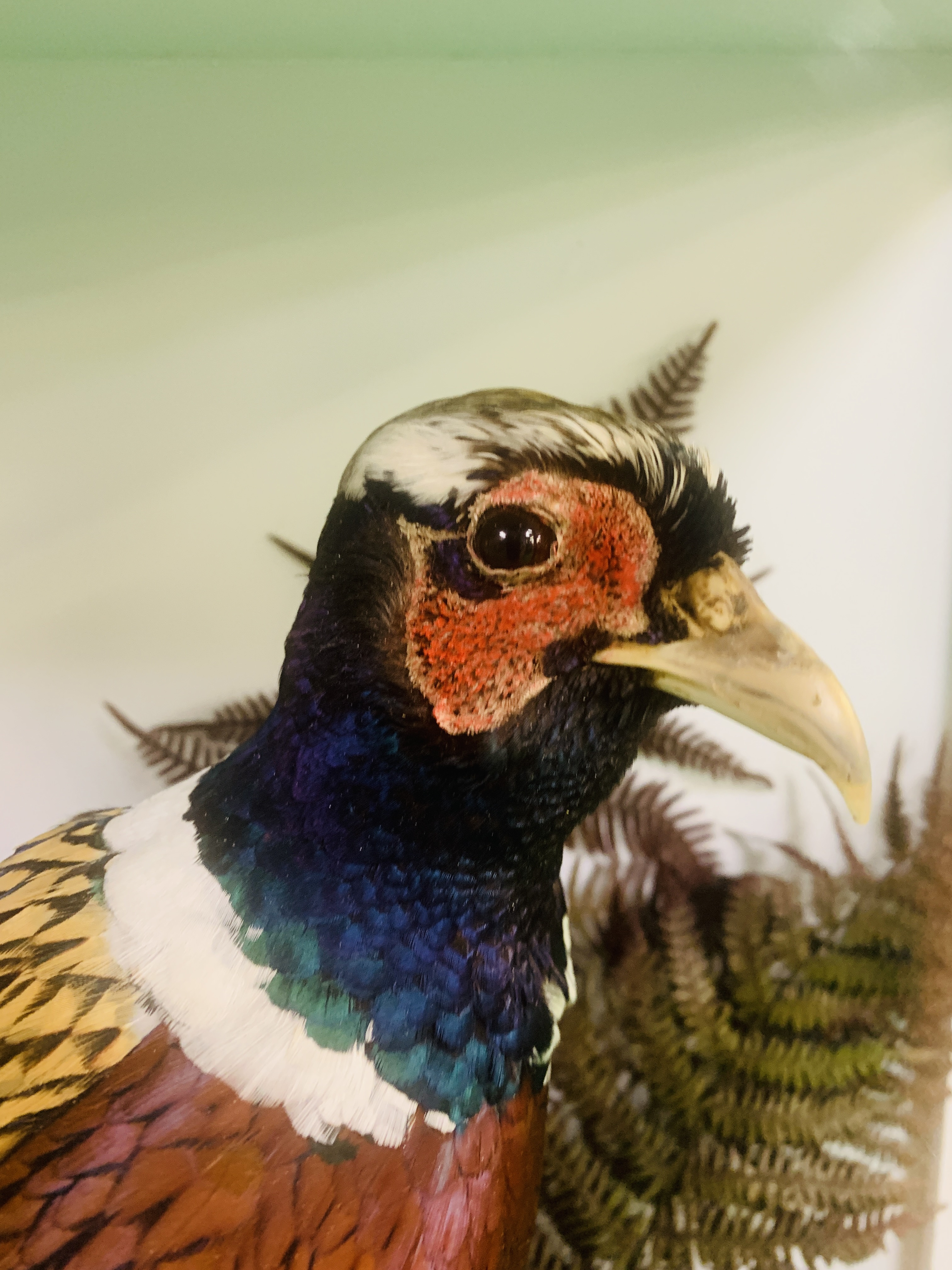 A CASED TAXIDERMY STUDY OF COCK BIRD PHEASANT AND PARTRIDGE (CABINET DIMENSIONS WIDTH 91CM, - Image 4 of 10