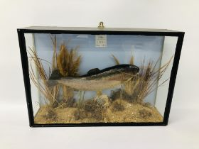 A TAXIDERMY CASED DISPLAY OF A RAINBOW TROUT 1954
