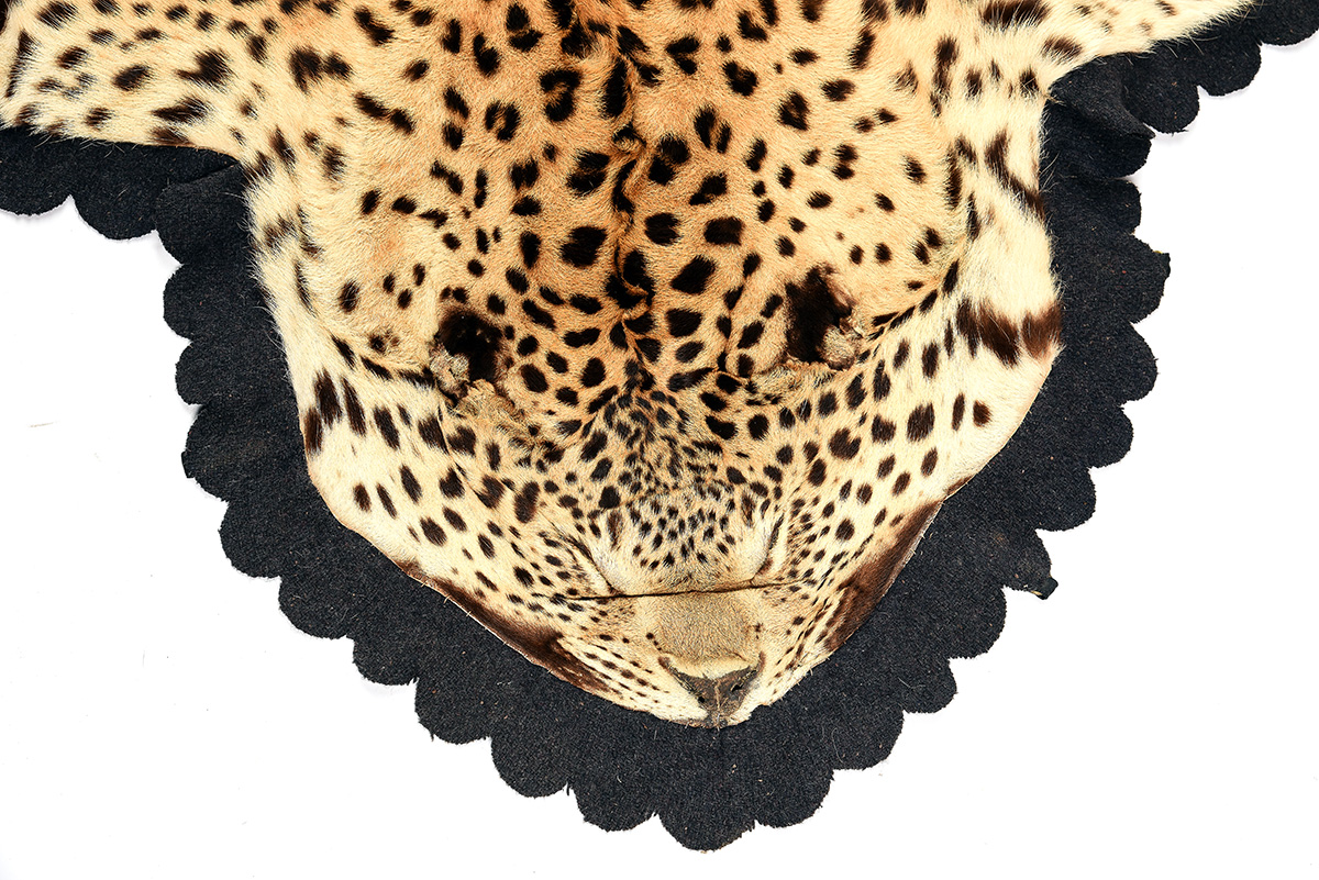 A VINTAGE FULL RUG-MOUNT OF AN INDIAN LEOPARD, lined with beige canvas and black baize. - Image 2 of 5